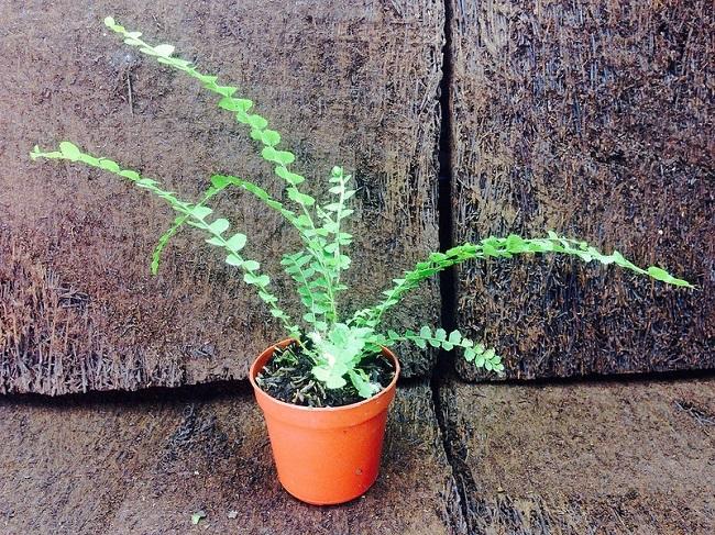 Chậu đất nung cũng là một lựa chọn hoàn hảo để trồng cây dương xỉ.